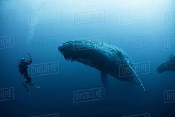 Underwater view of diver photographing humpback whale, Revillagigedo Islands, Colima, Mexico. 100ft under surface Royalty-free stock photo
