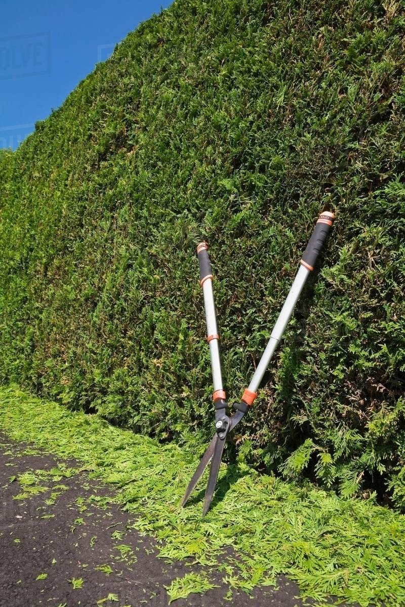 clipped thuja occidentalis cedar tree hedge with garden shears and