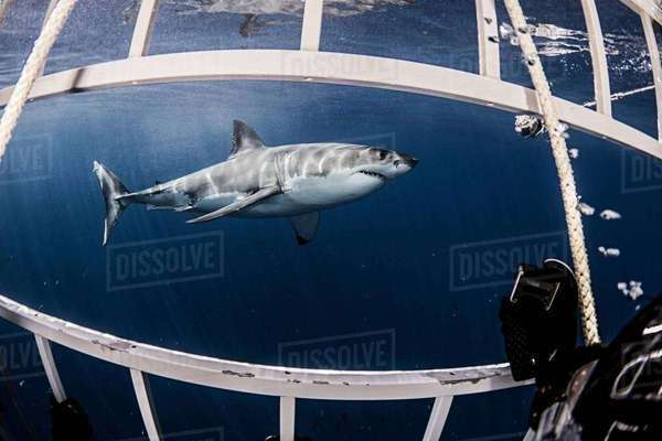 Underwater side view of great white shark from shark cage Royalty-free stock photo