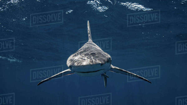 Sandbar shark looking at camera Royalty-free stock photo