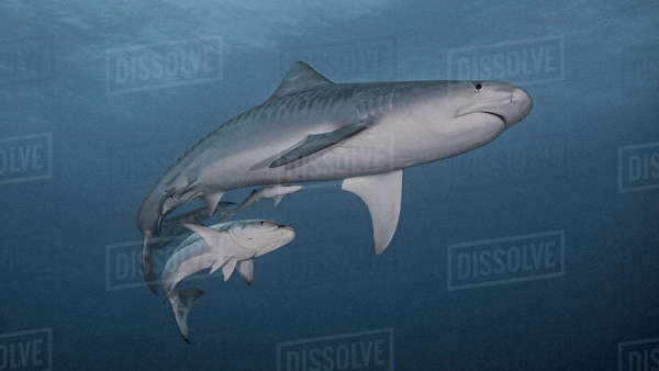 Tiger shark and cobia Royalty-free stock photo