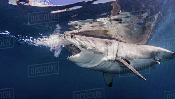 Great white shark near water surface Royalty-free stock photo