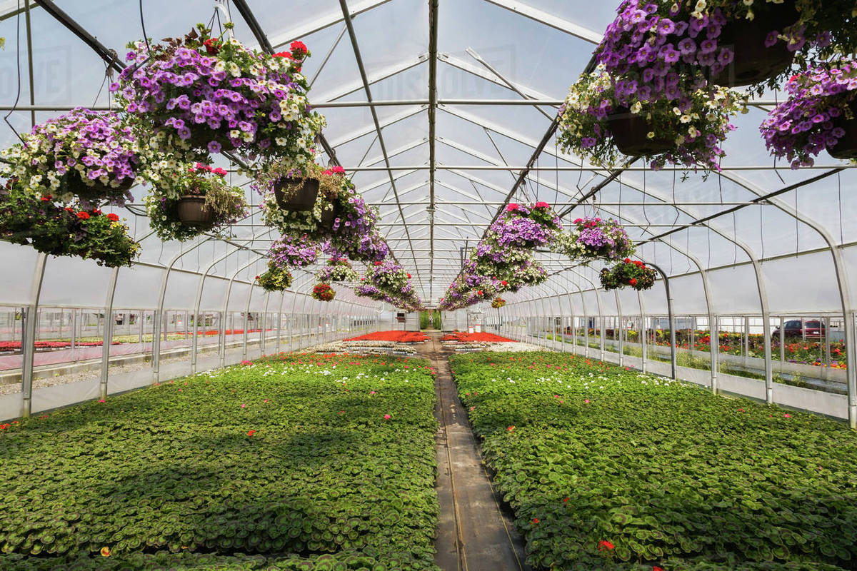 Commercial Greenhouse With Rows Of Mixed Flowering Plants