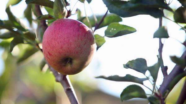 Hand picking an apple from the tree Royalty-free stock video