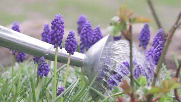 Grape hyacinths being watered with a watering can Royalty-free stock video