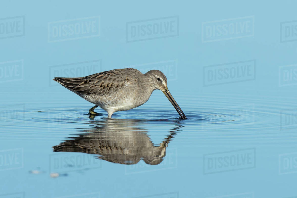 A long billed dowitcher searches for food in calm shallow water in eastern Washington. Royalty-free stock photo