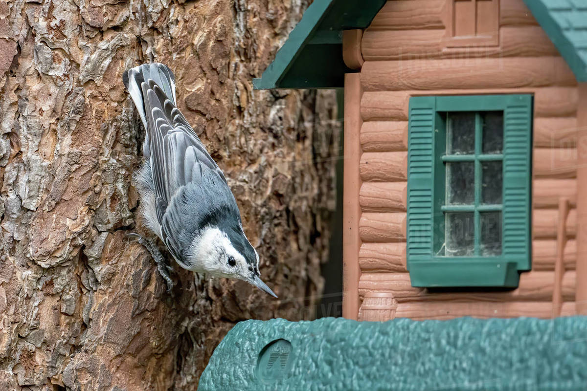 A white breasted nuthatch is eating seeds at a bird feeder in Idaho. Royalty-free stock photo