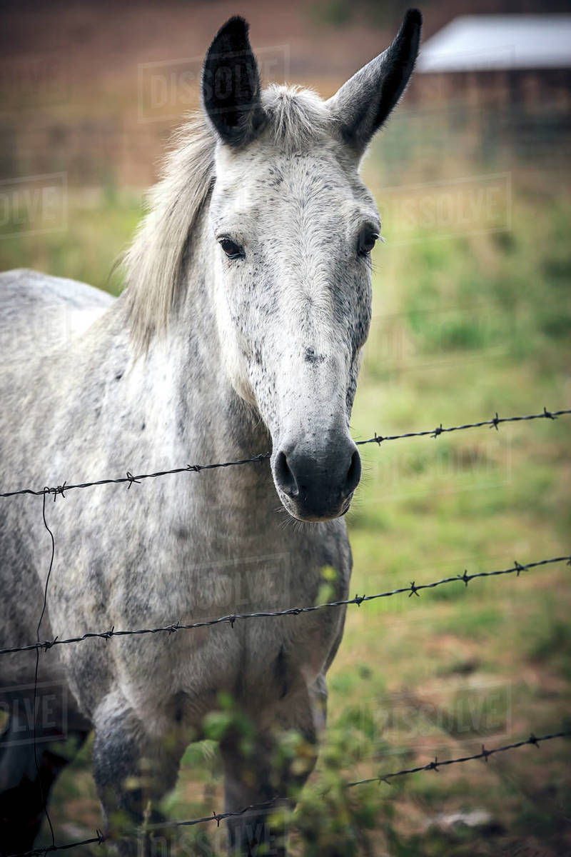A white horse stands by a barbed wire fence in north Idaho. Royalty-free stock photo
