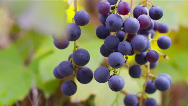 Closeup of grapes on vine in Fall Royalty-free stock video