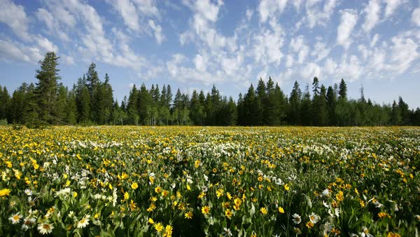 Timelapse, Field of yellow flowers in Yellowstone National Park Royalty-free stock video