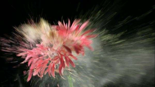 Flower frozen in liquid nitrogen explodes in slow motion. Royalty-free stock video