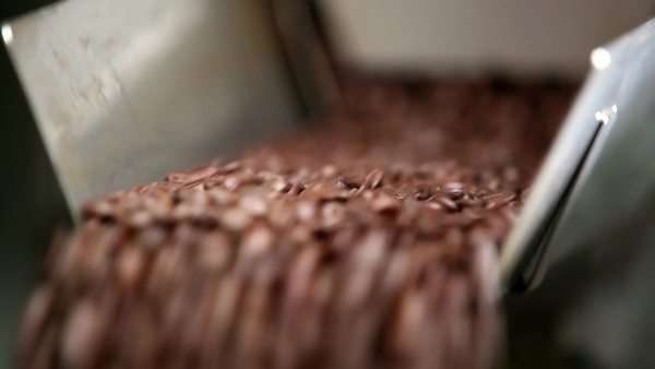Coffee beans pouring from a chute in a coffee roasting factory Royalty-free stock video