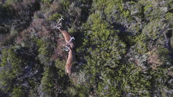 Overhead view descending over two male deer in the bush, as they make a synchronized turn Royalty-free stock video