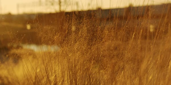 Static shot of tall grass swaying in breeze Royalty-free stock video