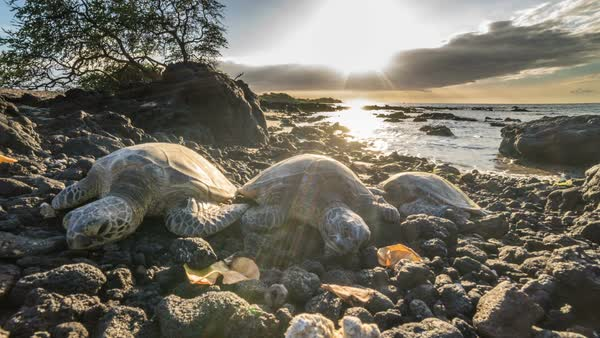 Timelapse video of three  Hawaiian Green Sea Turtle laying on the sand along the shoreline with sun setting in background Royalty-free stock video
