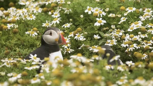 Close up of two puffins (Fratercula arctica) amongst the wildflowers. Skomer, Wales, UK. Rights-managed stock video