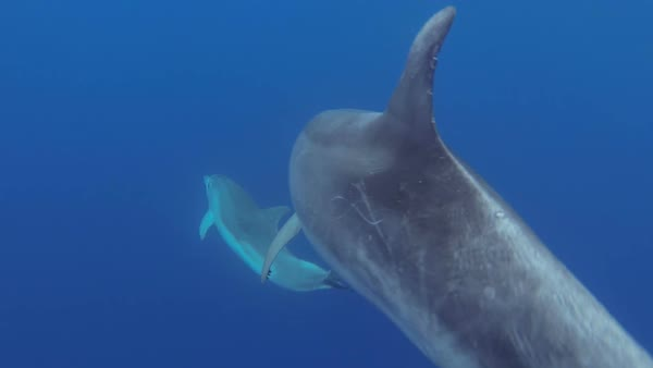 Bottlenose dolphins (Tursiops truncatus) swimming underwater in the Azores. Rights-managed stock video