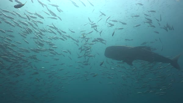 Whale shark (Rhincodon typus) swimming through shoals of fish, who part before it. Filmed in the Gulf of Thailand, Thailand. Rights-managed stock video