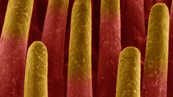 Animated coloured scanning electron micrograph (SEM) Mammal tongue filiform papillae (cat; Felis silvestris catus). Rights-managed stock video