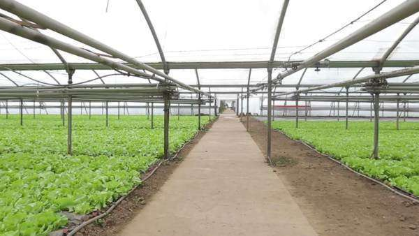 Wide-angle view of an indoor vegetable farm. Royalty-free stock video