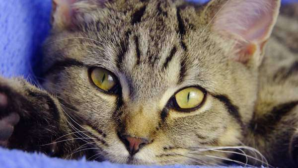Black and brown British tabby cat with golden eyes looks in camera, close-up Royalty-free stock video