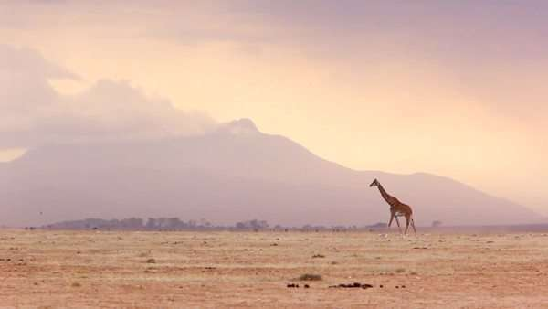 Locked off long shot of a lone giraffe walking across a plain Royalty-free stock video