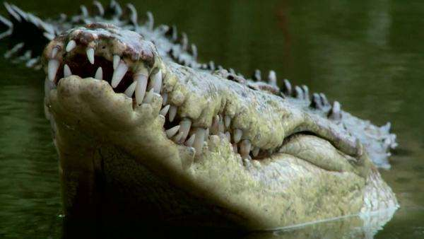Close-up of an alligator opening its jaws Rights-managed stock video