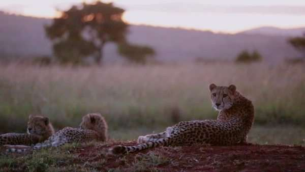Handheld shot of three cheetahs, one is startled Rights-managed stock video