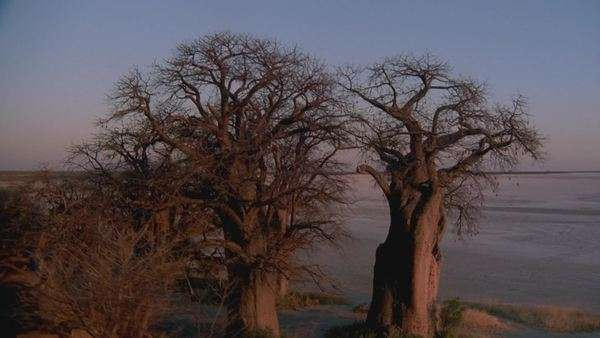 aerial wide angle shot group of baobab trees on edge of salt pan in desert with sun reflecting on tree trunk at sunset sunrise Rights-managed stock video