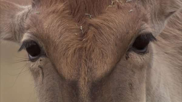 Close up of an eland's face and eyes Rights-managed stock video