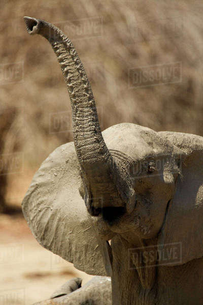 African elephant raising its trunk, Mana Pools, Zimbabwe Royalty-free stock photo