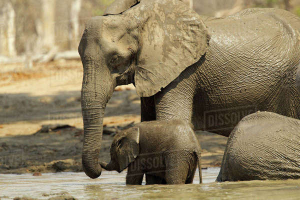 African elephants having a mud bath, Mana Pools, Zimbabwe Royalty-free stock photo