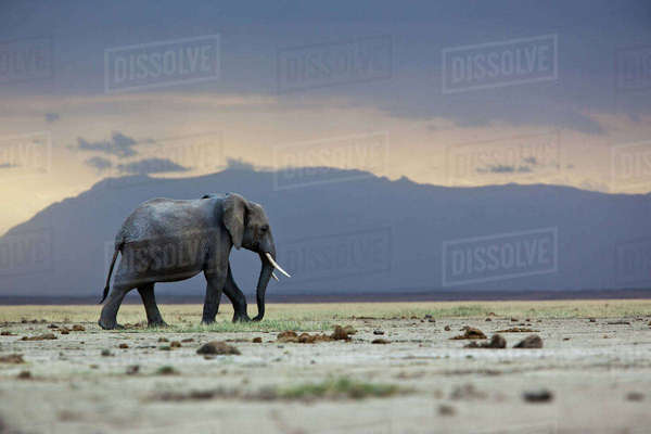 A lone elephant walking in the distance, Amboseli region, Kenya Royalty-free stock photo