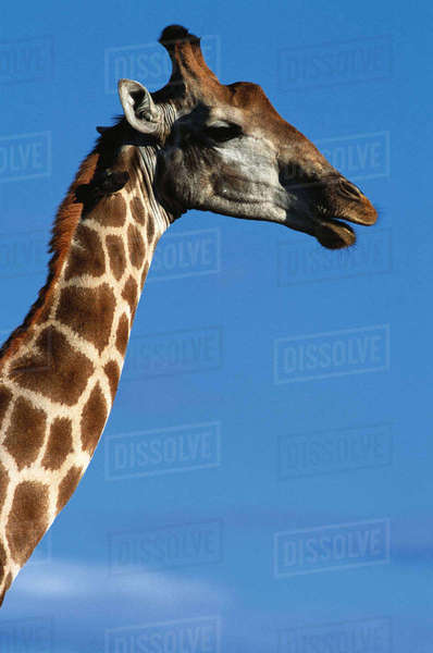 Giraffe, Kruger National Park, Mpumalanga, South Africa Rights-managed stock photo