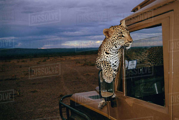 Leopard Sitting On Hood of Land Rover, Inanga Valley, Zambia, Africa Rights-managed stock photo