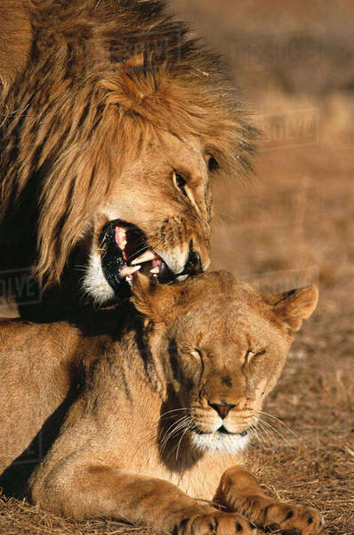 Male lion on top of lioness, nibbling her ear, Kruger National Park, Mpumalanga, South Africa Rights-managed stock photo