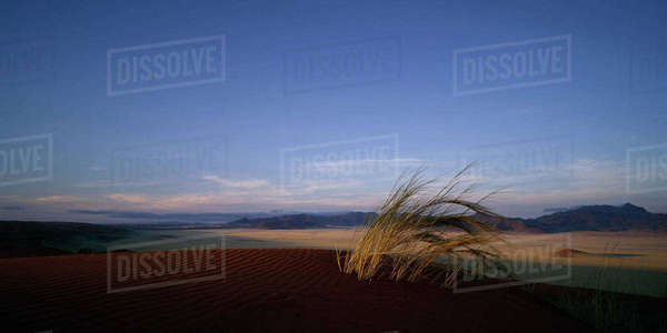 Grass Tuft Sand Dune Naukluft Park, Namibia, Africa Rights-managed stock photo