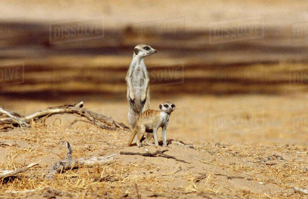 Meerkats, Kgalagardi Transfrontier Park, South Africa Rights-managed stock photo