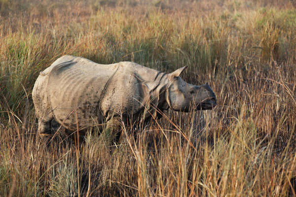 One-horned rhinoceros, Kaziranga National Park, Assam, India Royalty-free stock photo