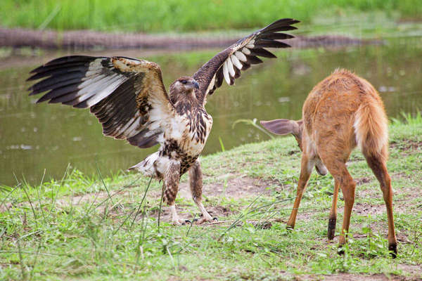 Fish eagle attempting to scare off a bushbuck in the Kruger National Park Royalty-free stock photo