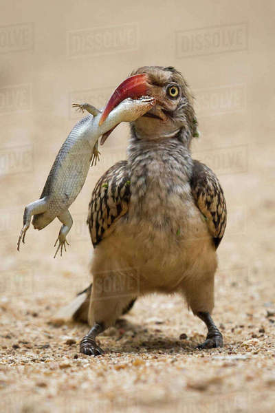 A red billed hornbill attempts to eat a large skink near Satara, Kruger National Park Royalty-free stock photo