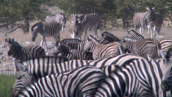 Extreme long shot of herd of zebra walking about, Namibia Rights-managed stock video