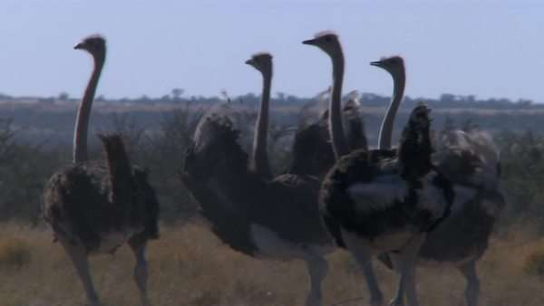 Panning long shot of ostriches running and displaying their feathers Rights-managed stock video
