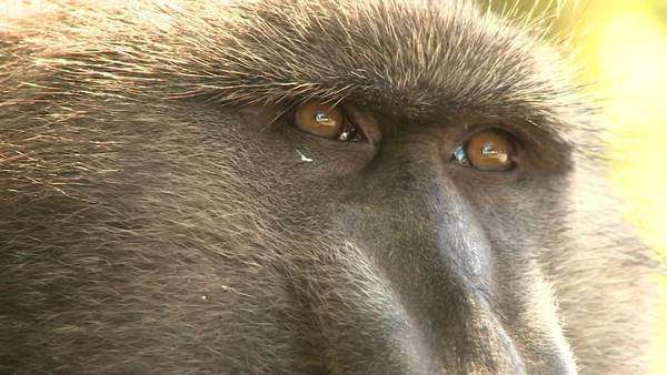 Close up of chacma baboon's eyes and face. Rights-managed stock video