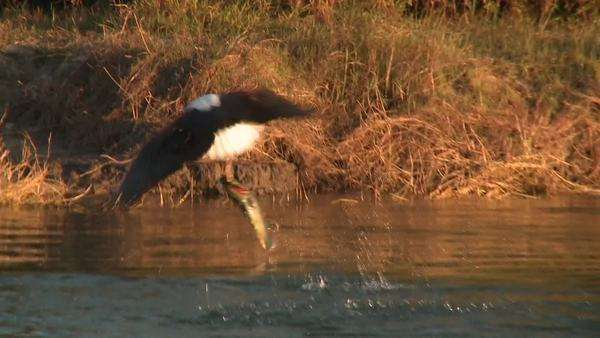 Hand-held shot of a fish eagle snatching a fish in the river Rights-managed stock video