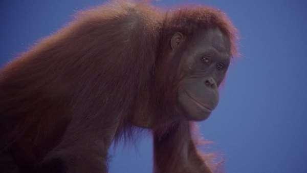 Close up of an orang-utan licking its finger Rights-managed stock video