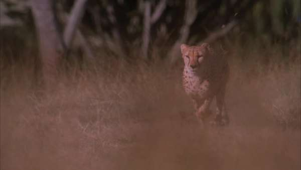 Slow motion pan of a cheetah running through the veld Rights-managed stock video