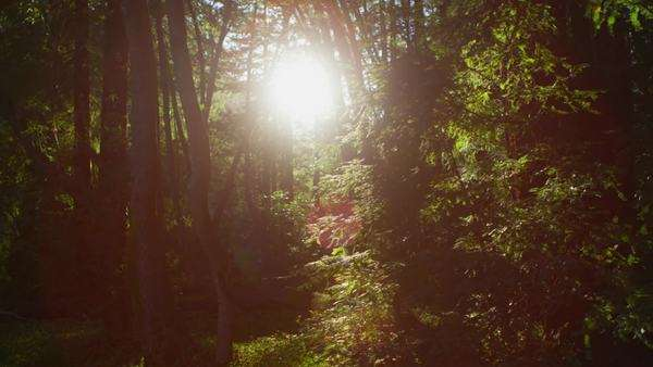 The sun filters through tall trees in a forest Royalty-free stock video