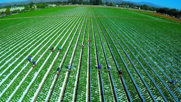 Aerial shot over migrant immigrant farm workers working in the strawberry fields of California. Royalty-free stock video