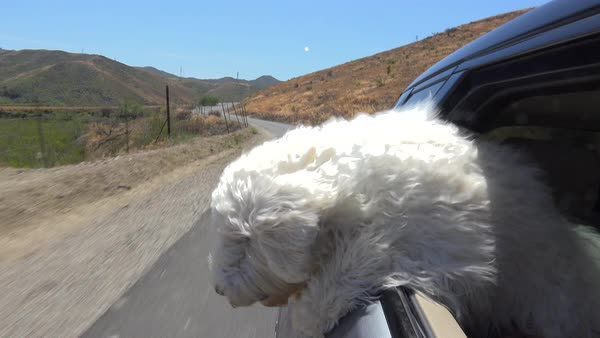 A cute white happy golden doodle puppy rides along in the window of a car. Royalty-free stock video